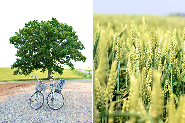 Cycling is a popular pursuit especially in the countryside where you can see fields of gold.