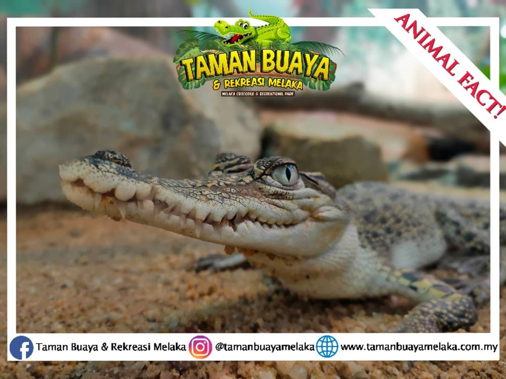 The Melaka Crocodile and Recreational Park (TBRM) have launched online tours to stay afloat amidst the Covid-19 pandemic. — Photo courtesy of Melaka Crocodile and Recreational Park