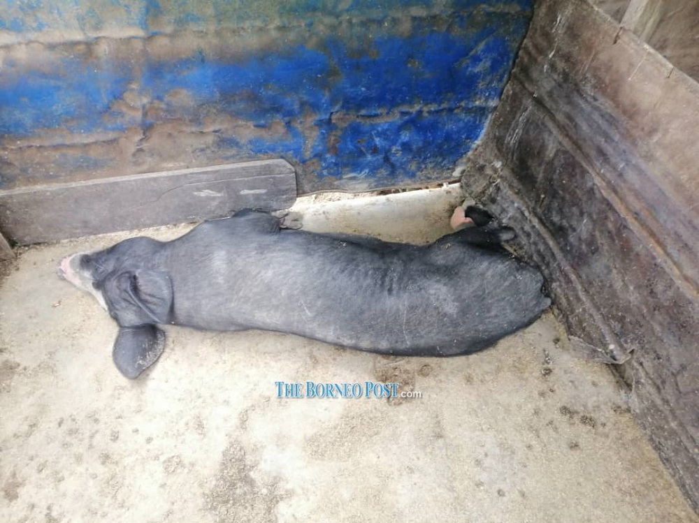 Picture shows one of the six pigs that died in Buduk Bui last week. — Borneo Post Online pic