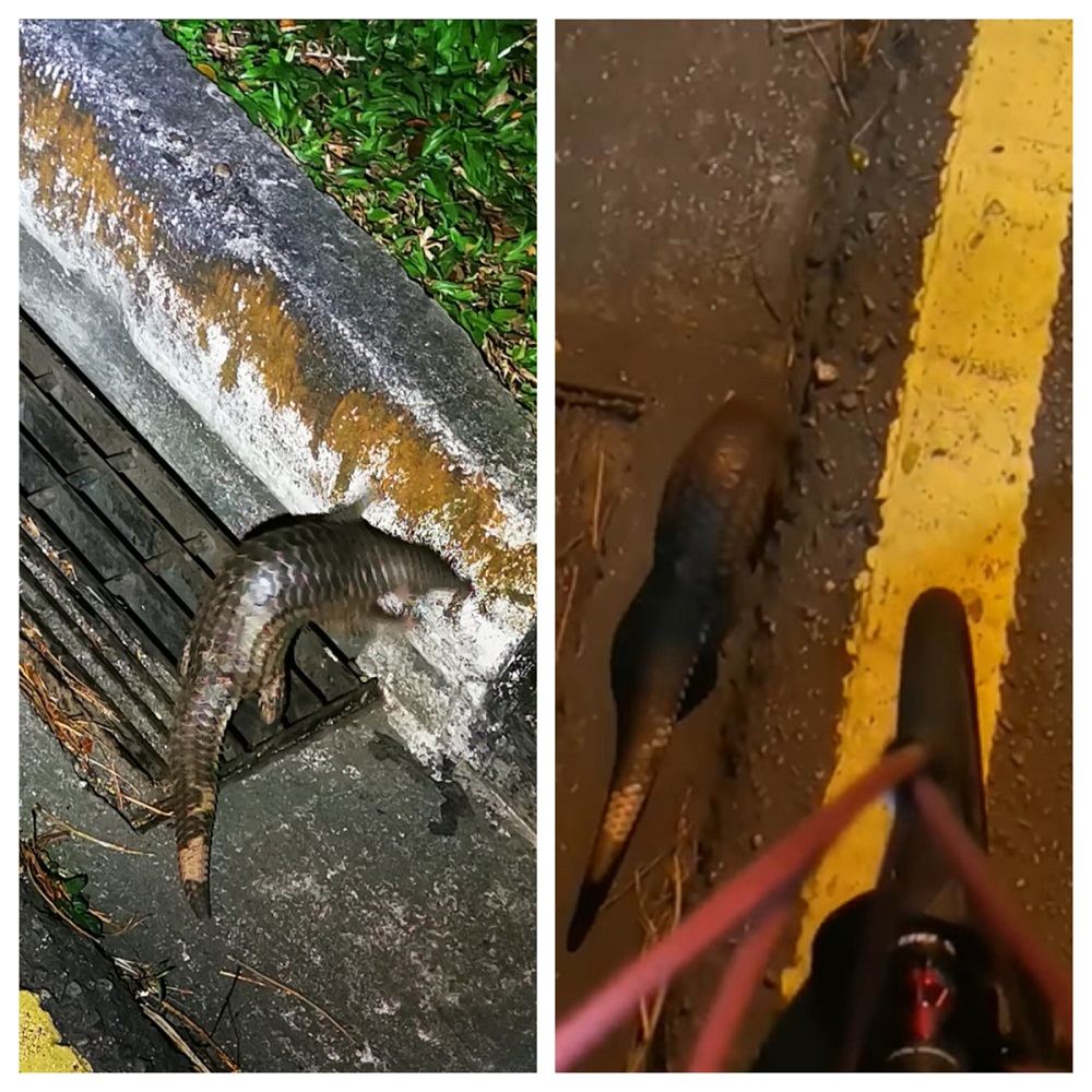 Lim successfully managed to guide the young pangolin up a road curb. ― Picture via Facebook/SingaporeWildlifeSightings