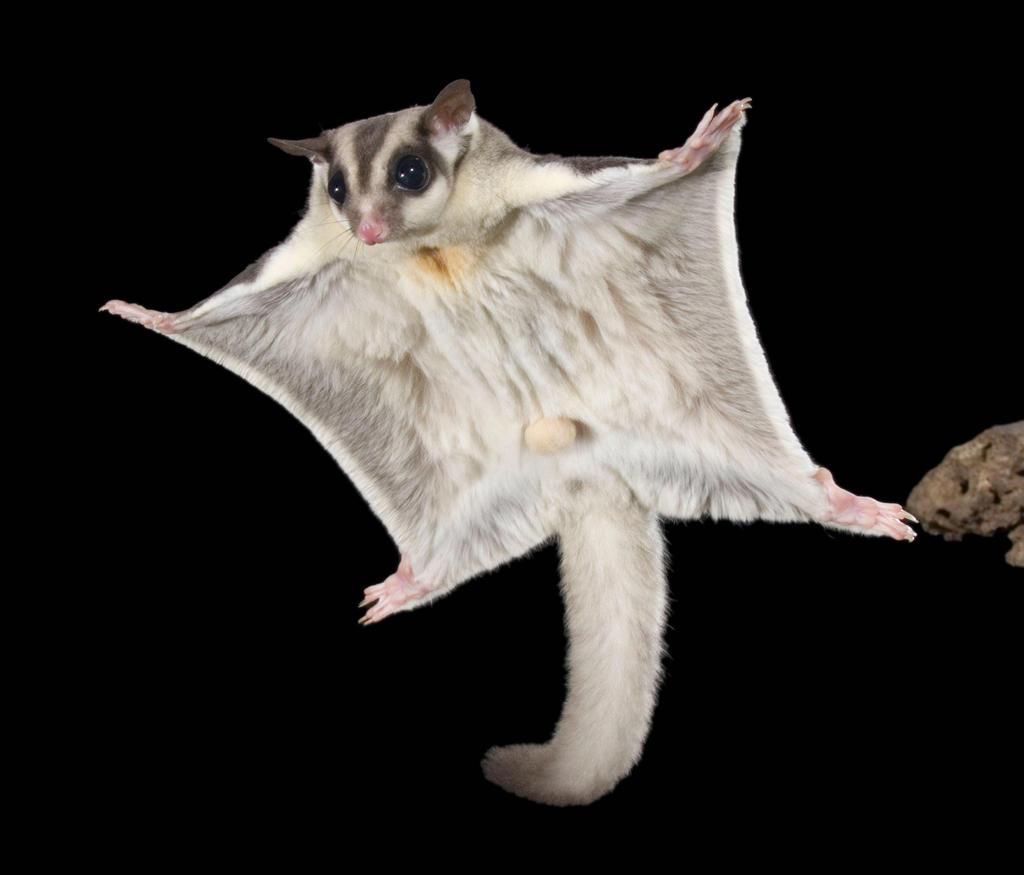 A sugar glider in flight. ― Simon Stone/Wilderness Society via TODAY