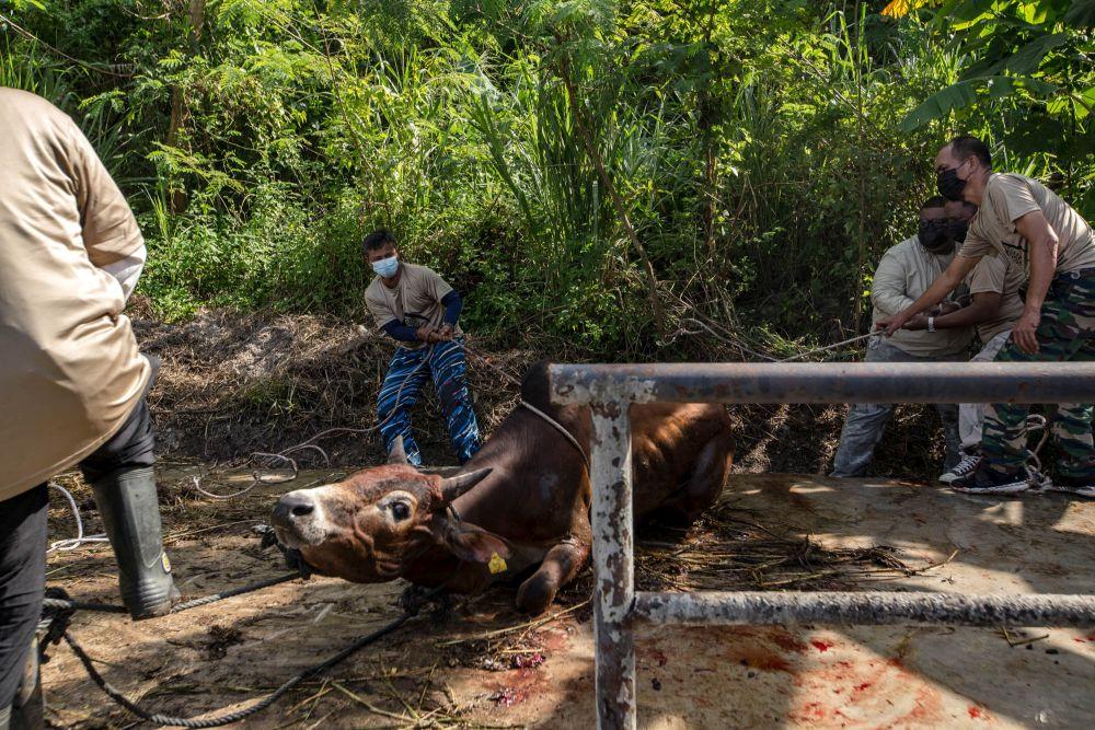 Malaysian Muslims get a cow ready for slaughter during Hari Raya Aidiladha in Bukit Antarabangsa, Kuala Lumpur July 20, 2021. — Picture by Firdaus Latif