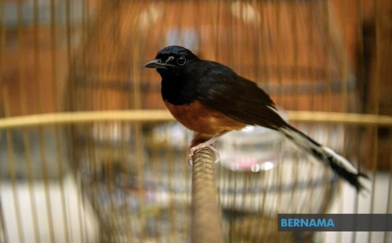 Marine police foiled an attempt to smuggle 886 white-rumped shama (burung murai batu) and magpies (murai kampung) worth about RM110,300 in Johor. — Picture via Twitter/Bernama