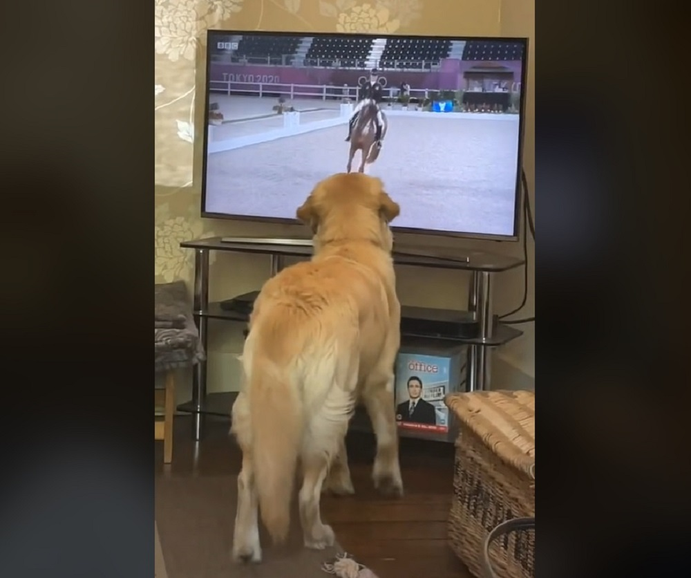 Willow the Golden Retriever had the best time watching the equestrian on TV. —  Scree Ca;kre from TikTok/@willowthepillow20