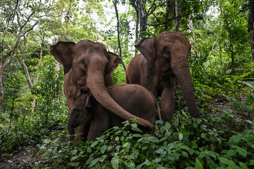 This photo taken on July 20, 2021 shows elephants eating in a forest at the Asian Elephant Breeding and Rescue Centre in Xishuangbanna in southwest China's Yunnan province. — AFP pic