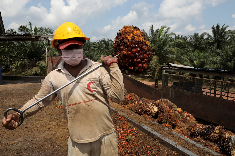 A worker carries a palm oil fruit bunch at an oil palm plantation in Slim River August 12, 2021. — Reuters pic