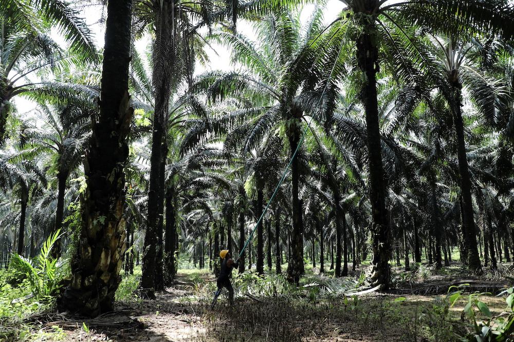 A worker collects palm oil fruits at an oil palm plantation in Slim River August 12, 2021. — Reuters pic