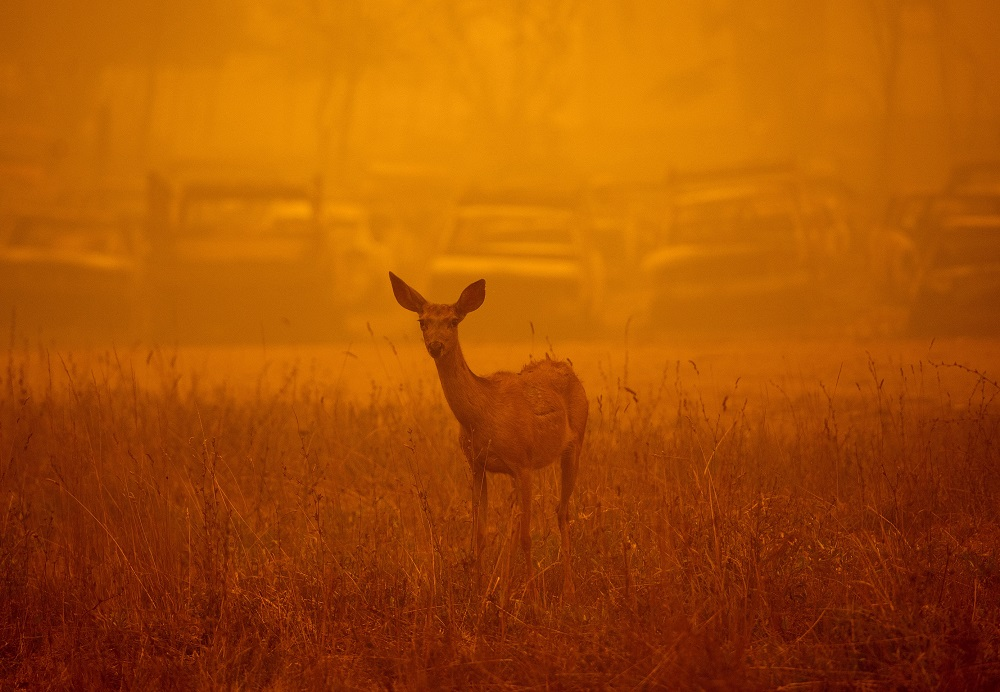 A deer wanders in heavy smoke in front of a row of burned cars during the Dixie fire in Greenville, California. — AFP pic