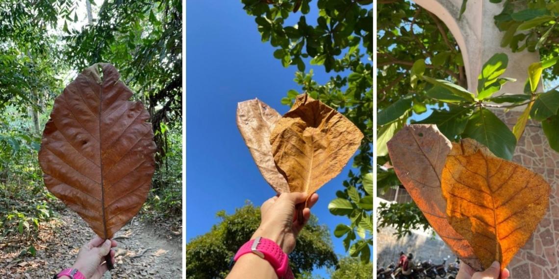 印度杏仁叶或橄仁叶适用于斗鱼和其他在水族箱的鱼类。-图摘自Soya Cincau-