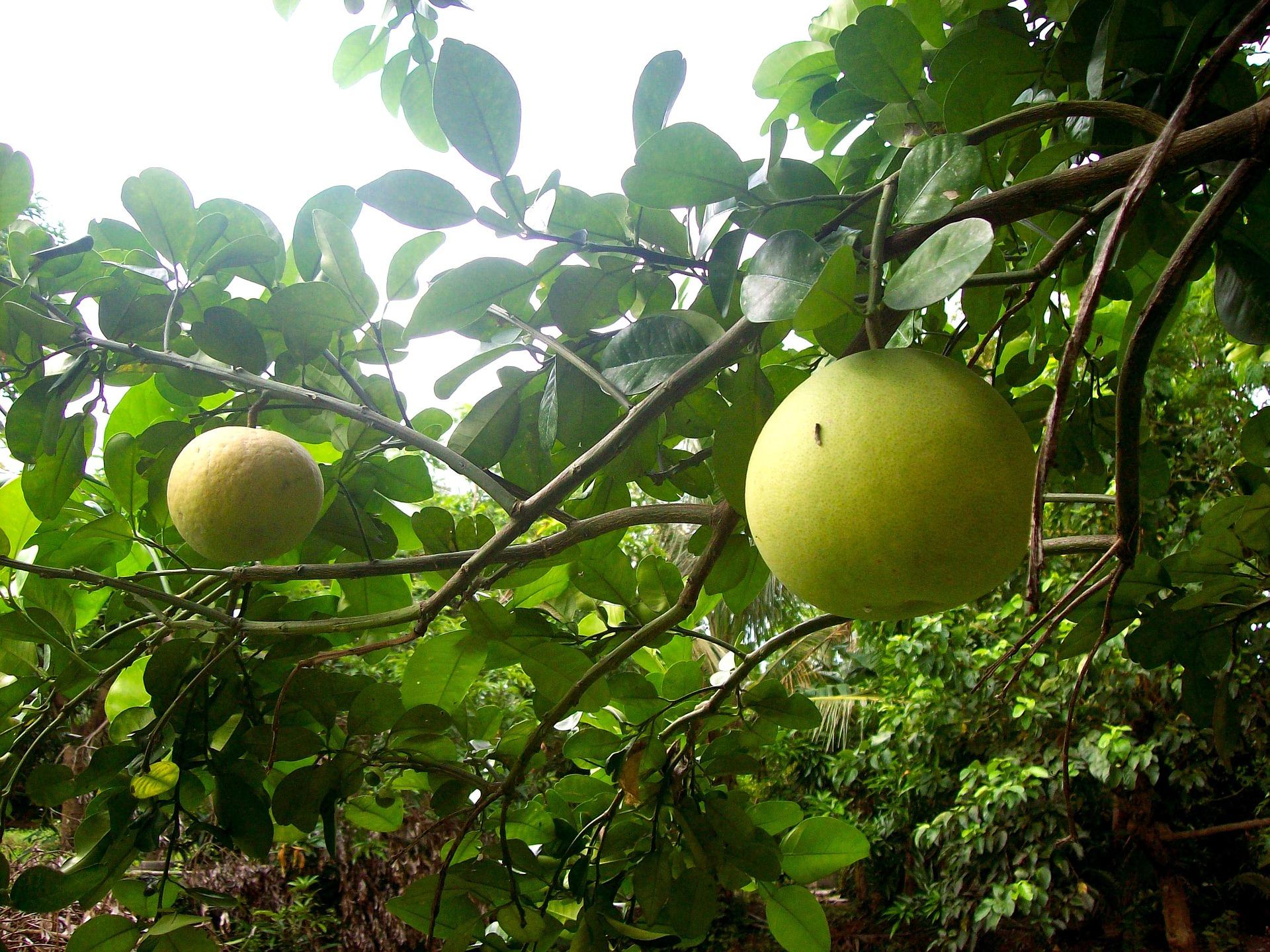 柚子也含丰富的钾,对维护心脏健康、正常血压有帮助。-图取自Pixabay-