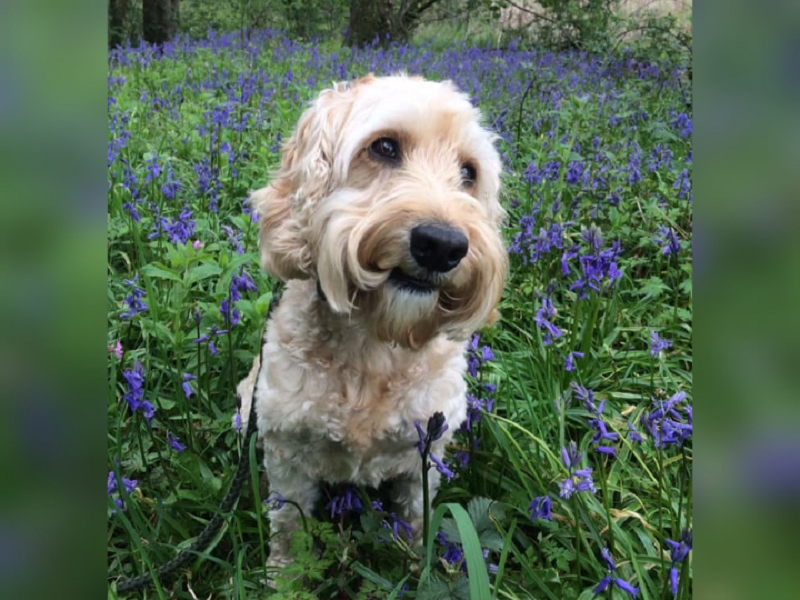 Jasper the six-year-old cockerpoo has been recognised as Animal of the Year for its services to frontliners during the Covid-19 pandemic. ― Picture via Facebook/ Jasper the Hospital Therapy Dog