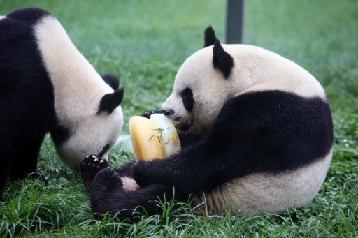 A pair of giant pandas will leave for Malaysia tonight on a 10-year loan and will be introduced to the public at the Giant Panda Complex at the National Zoo. — AFP pic