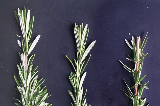 Fresh sprigs of rosemary add a heady, savoury aroma to any roasted meat dish
