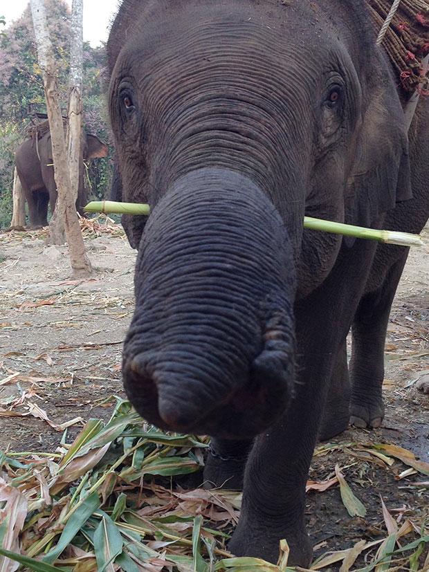 The elephants regularly feed on sugar cane and bananas.