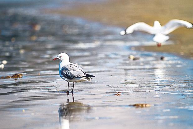 Seagulls on Koekohe Beach