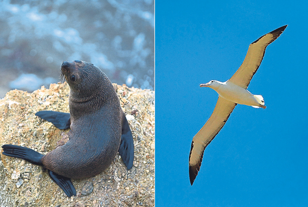 A fur seal pup (left). A Royal Albatross gliding effortlessly across the sky (right)