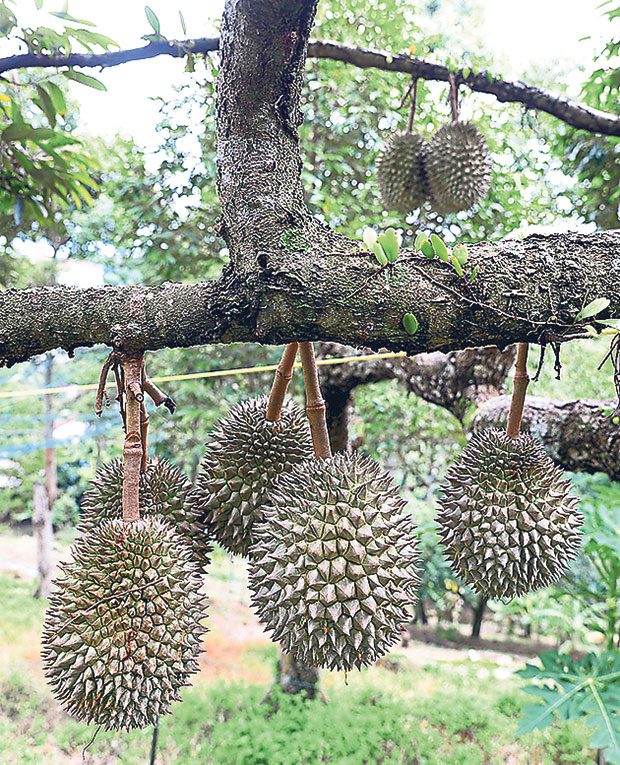 Durians are in season annually between May and August