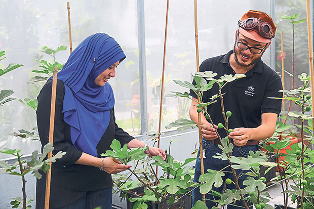 Ilani Hana Masturah (left) and Mohamed Fariz (right) tend to the fig trees with fruits at their greenhouse