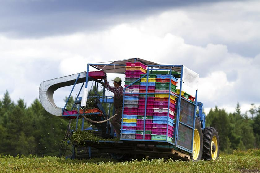 A migrant worker uses a tractor-mounted machine harvester to collect wild blueberries in Deblois, Maine August 6, 2013.  – Reuters pic