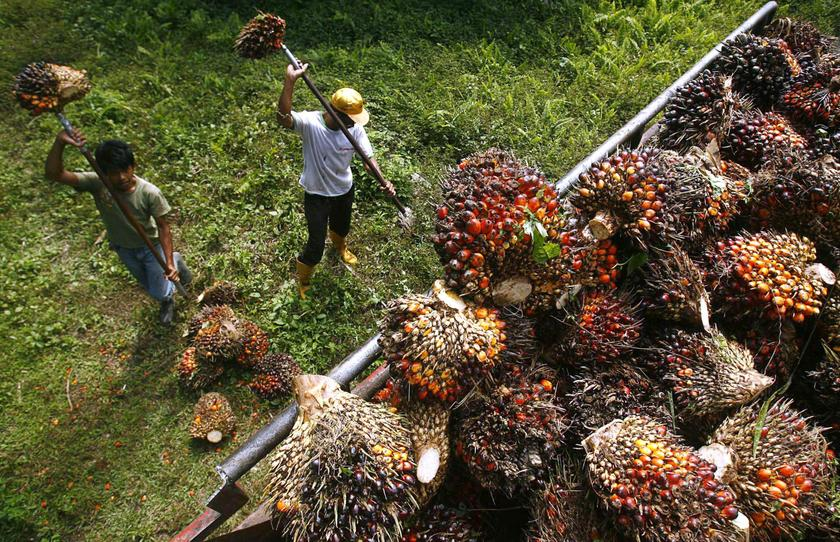 Workers load palm fruits onto a truck at a plantation. – Reuters pic