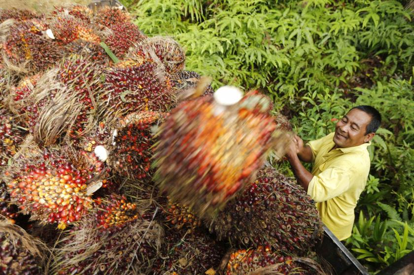 A worker loads oil palm fruit into a lorry at a local palm plantation in Shah Alam in this November 21, 2013 file photo. — Reuters pic