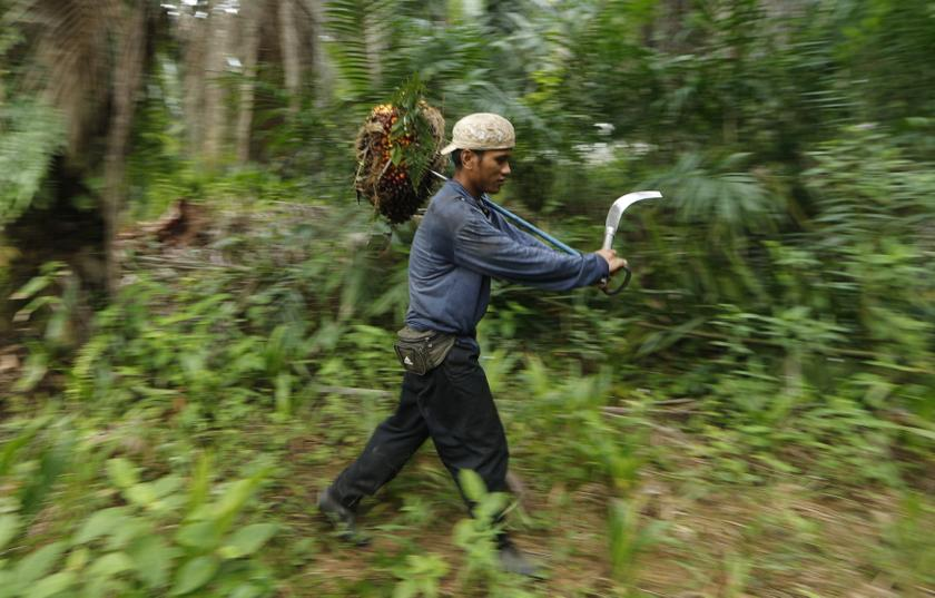 File picture shows a worker collecting palm fruit at a local palm plantation in Shah Alam outside Kuala Lumpur in this file photo. — Reuters pic
