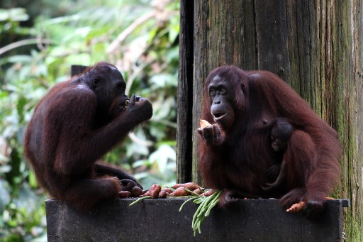 Sapuan said he was happy to note that the orang utan population in the state had increased, according to reports from the Wildlife Conservation Society. — AFP pic