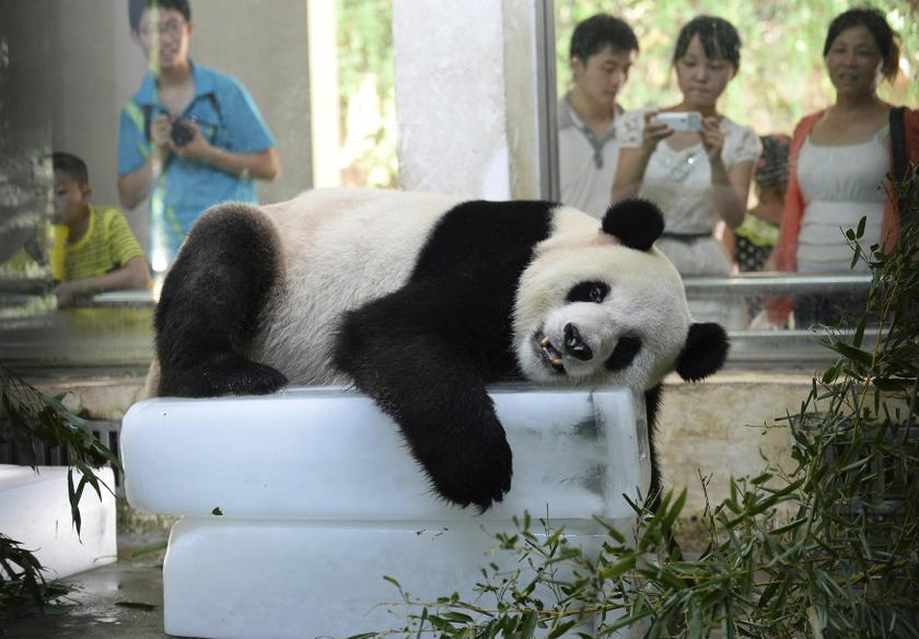 A giant panda lies on blocks of ice to cool off from the summer heat at its zoo enclosure in Wuhan, Hubei province August 6, 2013. – Reuters pic