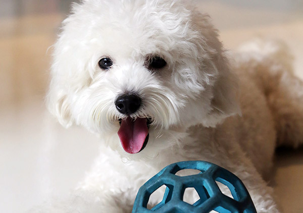 Miki, the Shih Tzu/poodle mix is always excited whenever Chan is baking in the kitchen