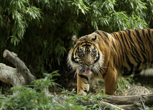 An indonesian farmer has been killed by a Sumatran tiger (pic), a second fatal big cat attack in less than a month. — Reuters pic